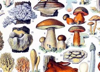 """""""Champignons"""" di Adolphe Millot. Illustrazione tratta dal """"Nouveau Larousse illustré"""""""