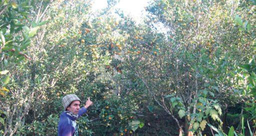 इलामको सुन्तला बगान रोगको चपेटामा परेपछि किसान वैकल्पिक खेती तर्फ