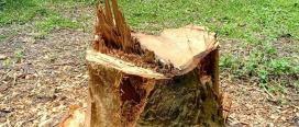 लक्ष्मि सामुदायिक वनमा अवैध रुख कटान