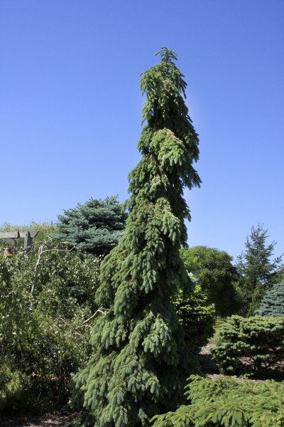 Weeping White Spruce Pahl S Market Apple Valley Mn