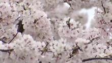 Cherry Blossoms_1520272270975.jpg.jpg