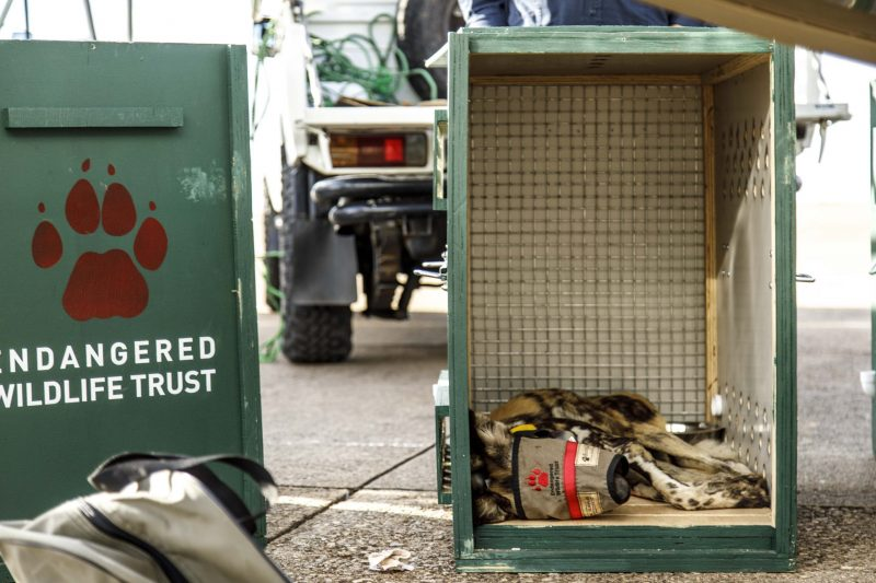 Sedated wild dog in purpose built transportation crate for transfer to Majete, Malawi © Matt moon