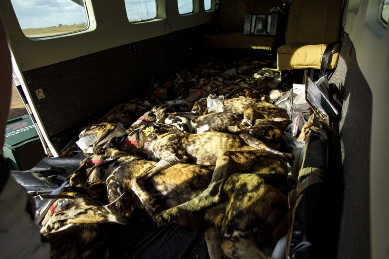 Sedated wild dogs in aircraft are closely monitored during transport © Matt Moon