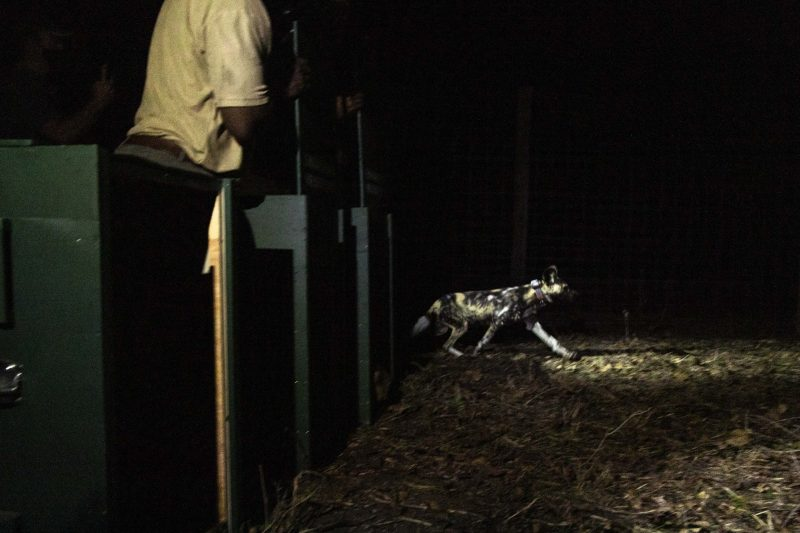 Wild dogs safely released into Majete Wildlife Reserve, Malawi on 27 July 2021 © Matt Moon