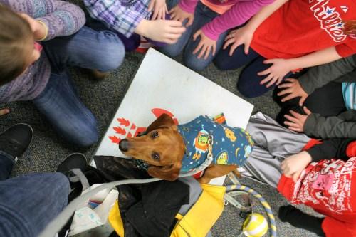 ammo the dachshund goes to school