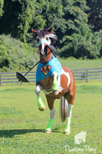 super pony chincoteague minnow gets ready for pony penning 2012