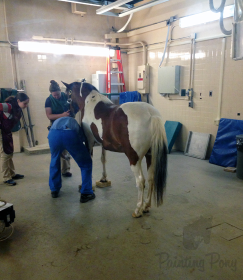 Maintaining Ringbone - Minnow injection // Painting Pony
