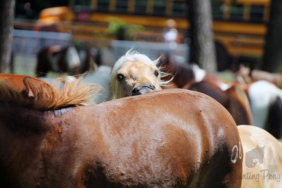 Pony Penning 2013 // Chincoteague Pony Swim // Painting Pony