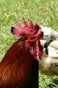Rhode Island Red rooster reference photo for watercolor painting