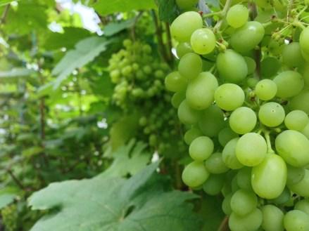 Viinamarjad kasvuhoones