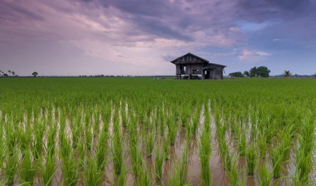 Plantacja ryż