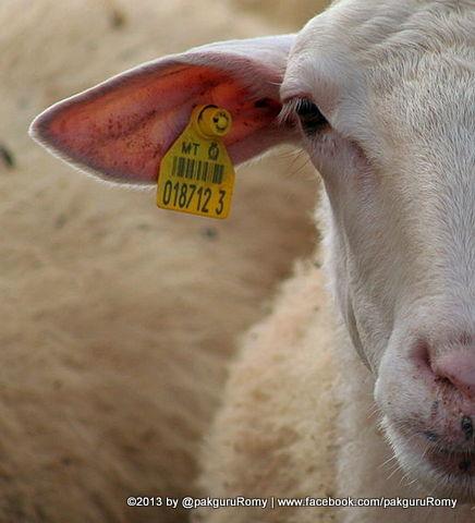 RFID pada ternak