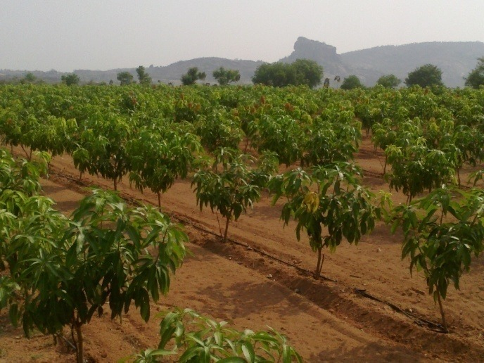 Mango farmers in India adopt 'high density' technology for better