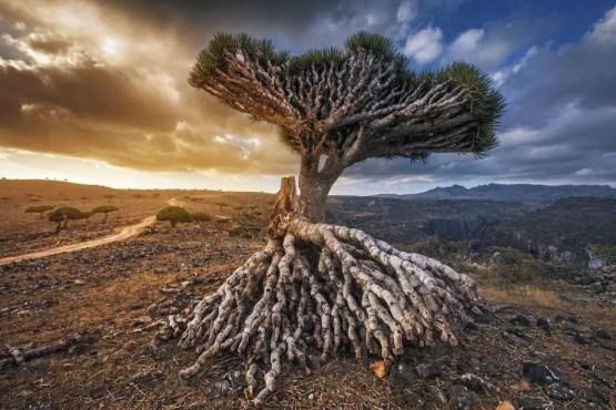 socotra island, yemen, dragon trees, island of poets