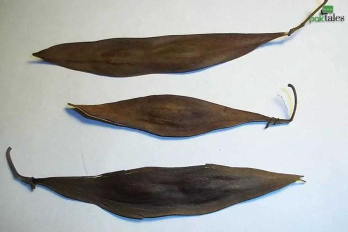 Kachnar botanical name