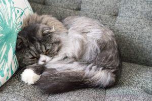 丸くなって寝てるオス猫(スコティッシュフォールド)