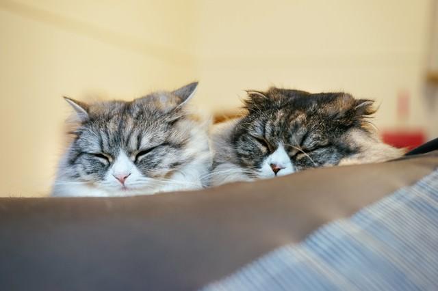 二匹で仲良くおやすみなさい(スコティッシュフォールド)