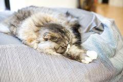 昼間から図々しくソファーで寝転がるスコティッシュフォールド
