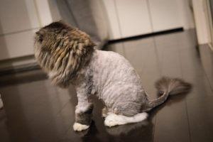 ライオンカットの猫(スコティッシュフォールド)