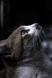 天井を見つめる猫