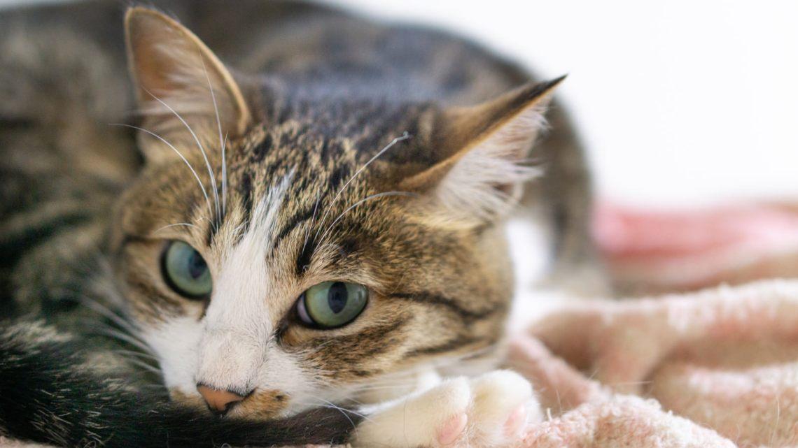 「ちょっとだけ上目遣いの猫」の写真