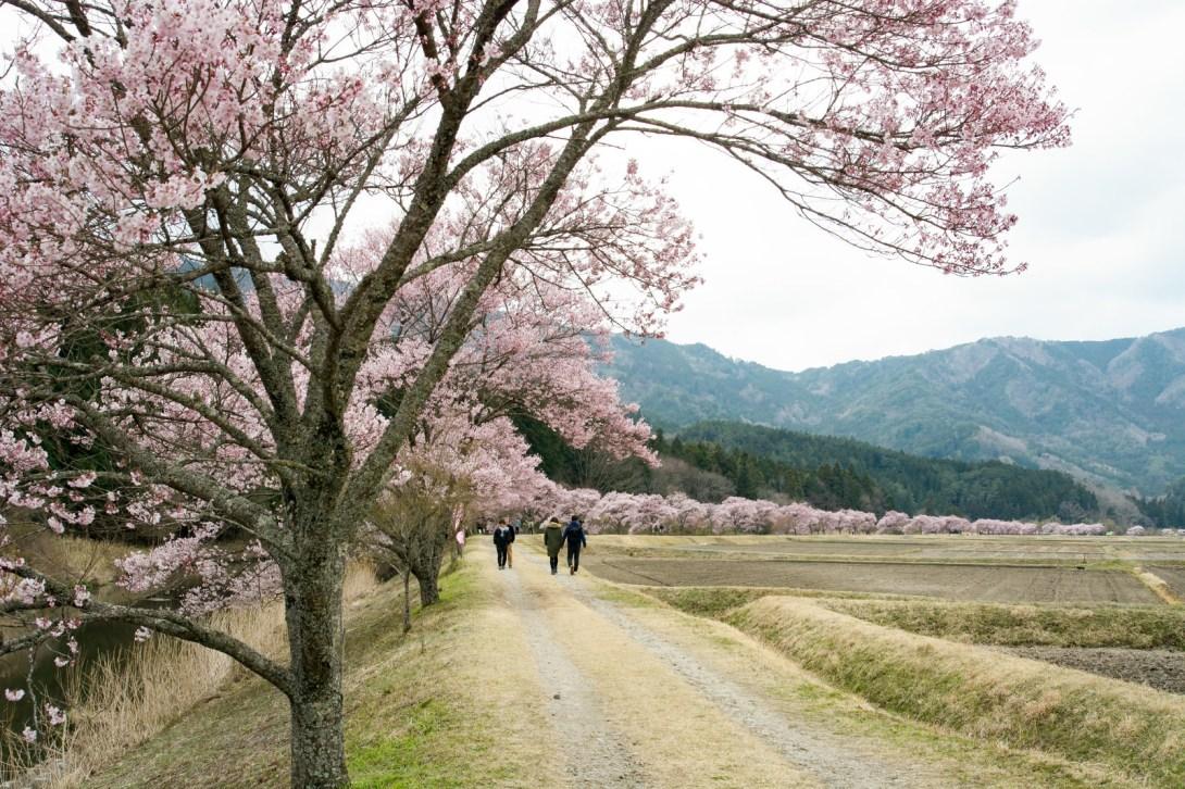 「満開の桜並木を楽しむ人々(名倉のコヒガンザクラ並木)」