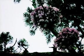 松島のセッコク