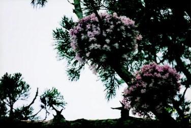 瑞巌寺の石斛(セッコク)