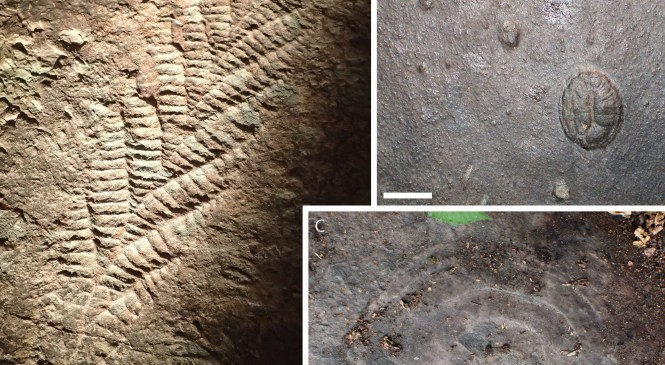 Fossil Focus: The Ediacaran Biota
