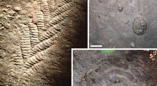 Fossil Focus: The Ediacaran Biota