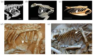 Figure 5 — Uncinate processes (marked by the arrows) in (a) a running cassowary, (b) a flying eagle owl and (c) a diving razor bill. (d) and (e) show uncinates in fossils; an ovripatrid (d) and velociraptor (e). From Codd et al., (2008).