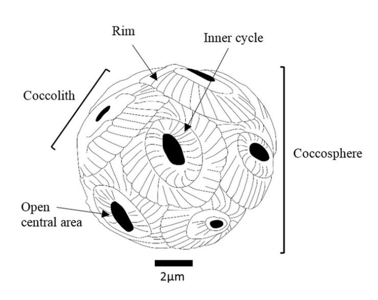 Key external features of a calcareous nannofossil.