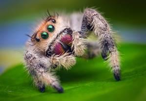Figure 1 - The jumping spider Phiddipus regius