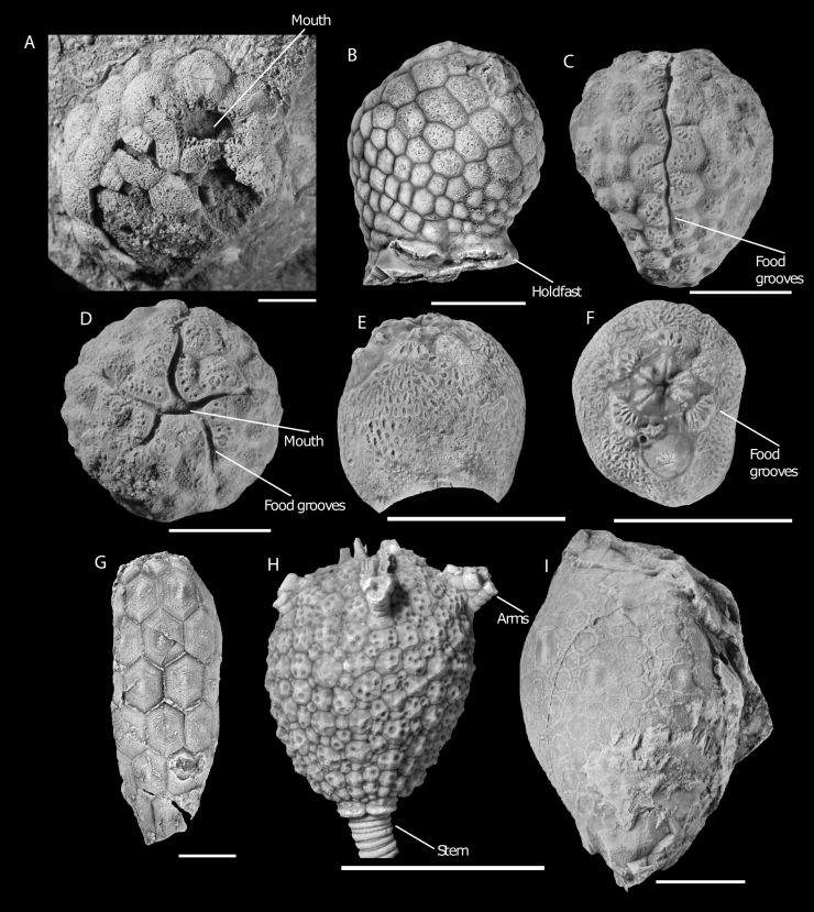 Figure 3 — A representative sample of diplopore-bearing echinoderm fossils. A. Holocystites salmoensis (Ordovician Anticosti Island, Quebec, Canada) with large mouth and short food grooves (GSC126899; modified from Sheffield et al. 2017). B. Paulicystis sparsus (Silurian, Indiana, USA) with buried diplopores that are exposed only if the fossil has been weathered (SUI 48164; modified from Sheffield and Sumrall 2017). C. Side view of Estonocystis antropoffi (Ordovician, Estonia), with long, relatively wide food grooves (GIT 540-80; modified from Sheffield and Sumrall 2019b). D. Top view of Estonocystis antropoffi (GIT 540-80; modified from Sheffield and Sumrall 2019b). E. Side view of Haplosphaeronis sp. (Ordovician, Estonia) with wide holdfast that would attach to a hard surface during life (GIT 540-3; modified from Sheffield and Sumrall 2019b). F. Top view of Haplosphaeronis sp. with short, branched food grooves (GIT 540-3; modified from Sheffield and Sumrall 2019b). G. Holocystites cylindricus (Silurian, Indiana) with an elongated and narrow shape (YPM 19175; modified from Sheffield and Sumrall 2017). H. Eumorphocystis multiporata (Ordovician, Oklahoma) with arm structures that come off the surface of the body and a stem, as opposed to a holdfast (SUI 97599; modified from Sheffield and Sumrall 2019a). I. Amphoracystis irregularis, a diploporitan without diplopores or other known respiratory structures (NM-L 13063; modified from Sheffield and Sumrall 2019b). GSC, Geological Survey of Canada; SUI, the University of Iowa; GIT, Geological Institute of Tallinn; YPM, Yale Peabody Museum; NM-L, Prague National Museum. Scale bars, 1 centimetre.