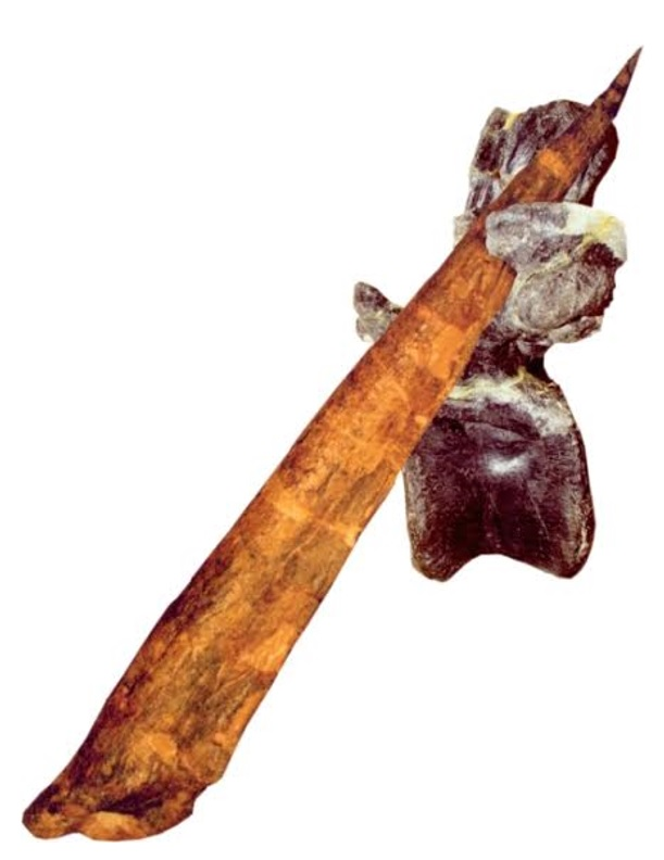 Figure 3 — Allosaurus vertebra with a puncture that perfectly matches a stegosaur tail spike. Image courtesy of Kenneth Carpenter.