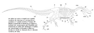 Figure 5 — Skeletal reconstruction of Allosaurus. Author's own work.