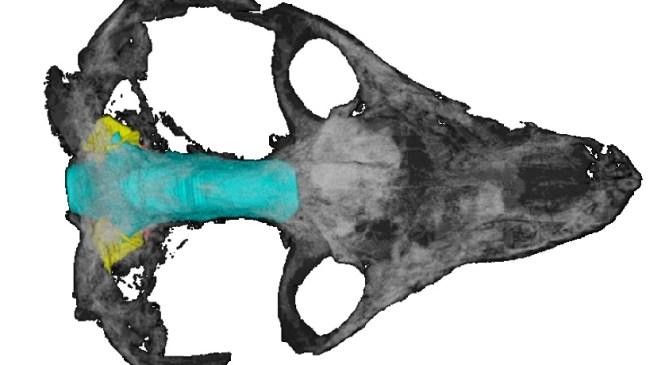 Patterns In Palaeontology: Digitally Peering Inside Fossil Skulls