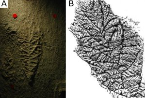 Figure 4 — Photograph (A) and drawing (B) of the holotype of Beothukis mistakensis.