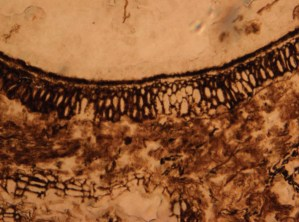 Figure 2 - Microscope image of plant material seen in an acetate peel. Part of a seed wall is visible.
