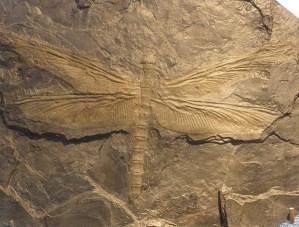 Figure 7 - Meganeura, Carboniferous relative of modern dragonflies.