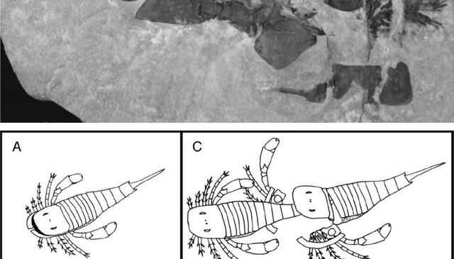 Patterns in Palaeontology: How and why did the arthropod shed its skin? Moulting in living and fossil arthropods