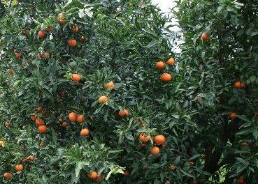 Crisi Agrumicoltura in provincia di Taranto