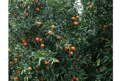 Piano agrumi in attesa dal 2010 da Regione Puglia