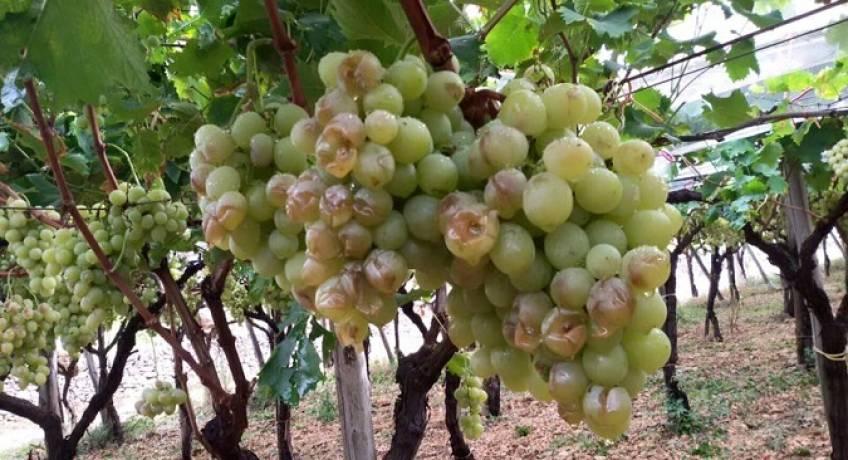 COLDIRETTI TARANTO. Grandinate e nubifragi spazzano via colture in campagnaA Taranto e provincia situazione critica
