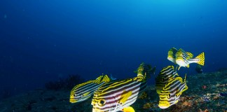 marine life in el nido - sweetlip