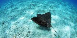 Marine Life in El Nido - Eagle Ray