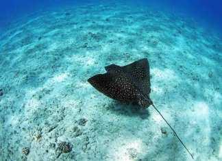 Marine Life in El Nido - Eagle Ray
