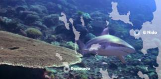 marine life in el nido - blacktip reef shark