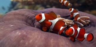 clown-fish-nemo-el-nido-palawan