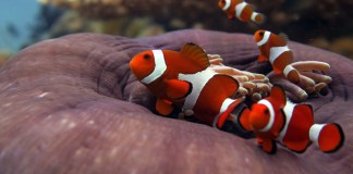 clown-fish-nemo-el-nido-palawan